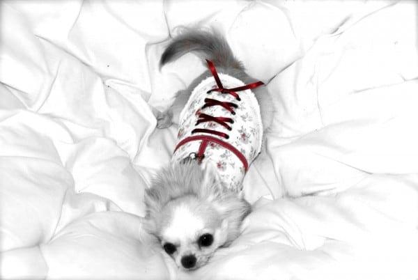 El Acicalamiento del Chihuahua
